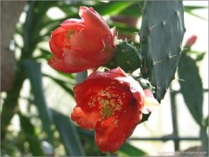 Cactusi infloriti