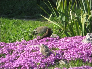 Pasarica violeta